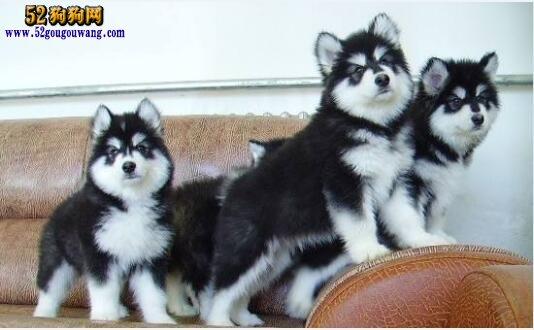 阿拉斯加幼犬价格