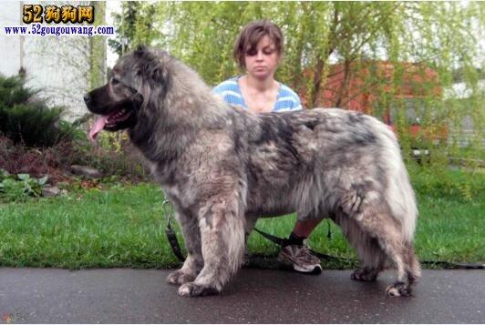 巨型高加索犬