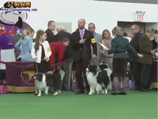 边境牧羊犬视频