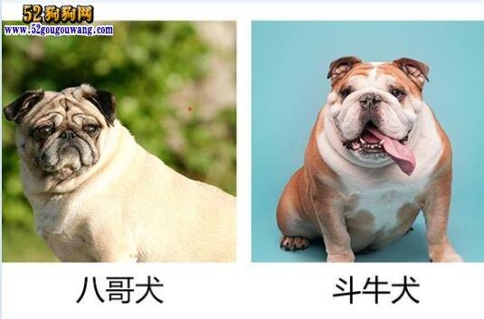 巴哥犬和斗牛犬的区别