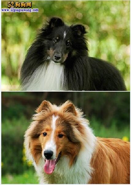 苏格兰牧羊犬和喜乐蒂犬有哪些不一样的地方?