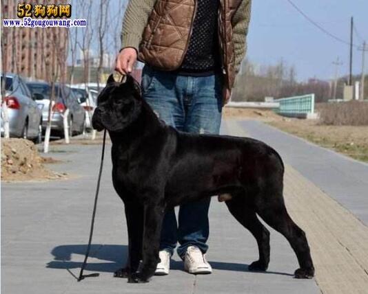 黑色杜高犬