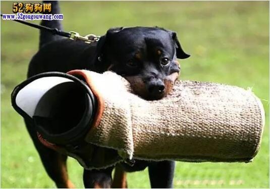 杜宾犬和罗威纳哪个好