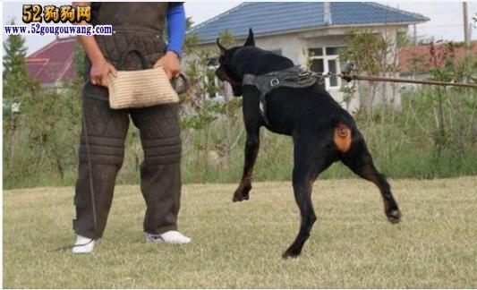 杜宾犬凶会对主人凶吗?