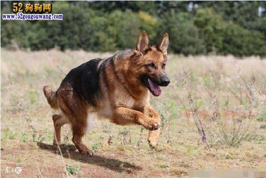 昆明犬的优点和缺点都哪些?