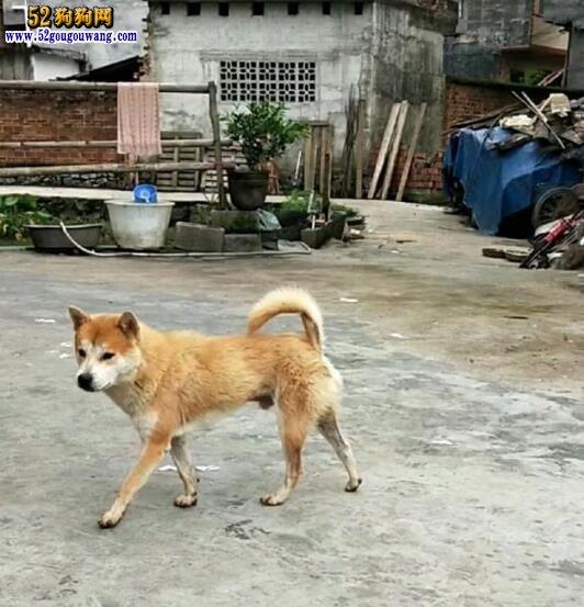 纯种中华田园犬在哪买