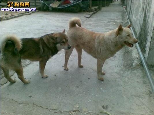 最纯种的中华田园犬