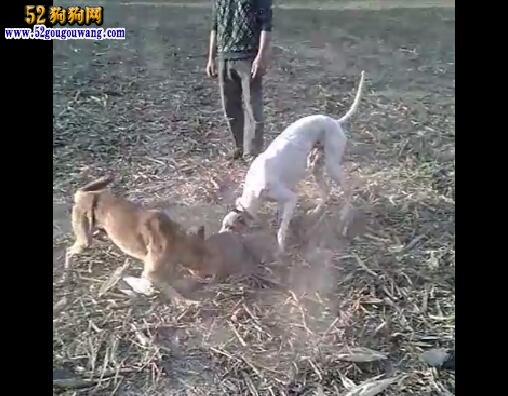 格力犬视频