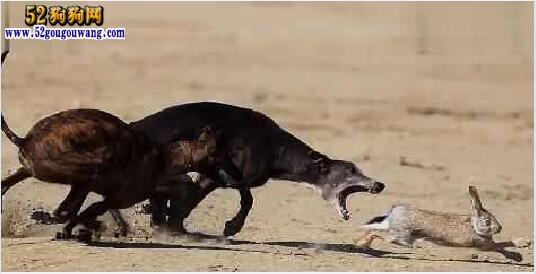 格力犬猎兔