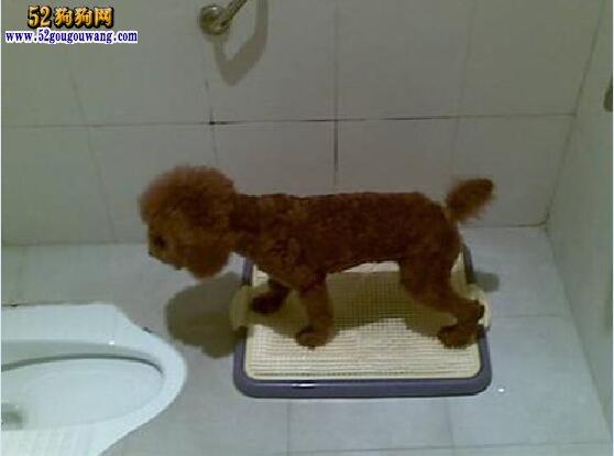怎样训练狗狗上厕所