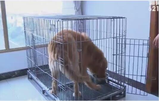 狗训练视频、大中型成年犬的训练教程