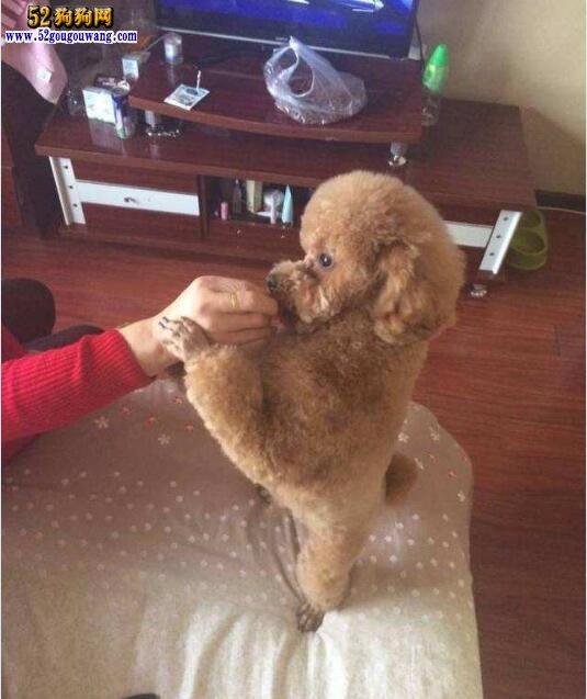 泰迪犬的训练方法