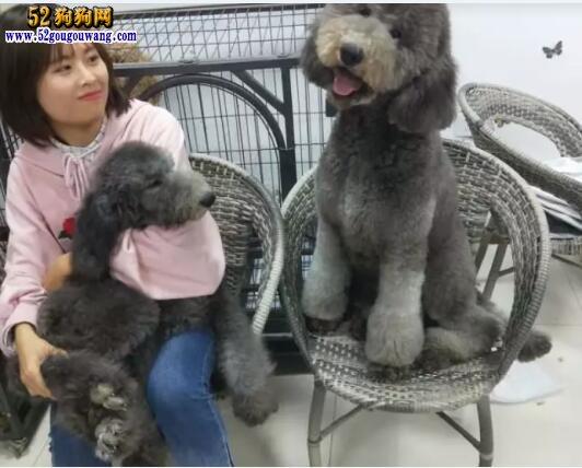贵宾犬图片价格