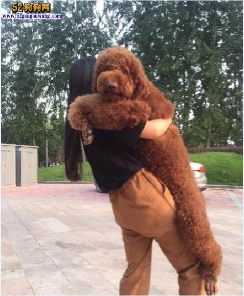 大贵宾犬品种介绍