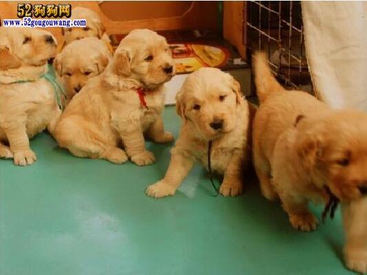 金毛幼犬多少钱一只