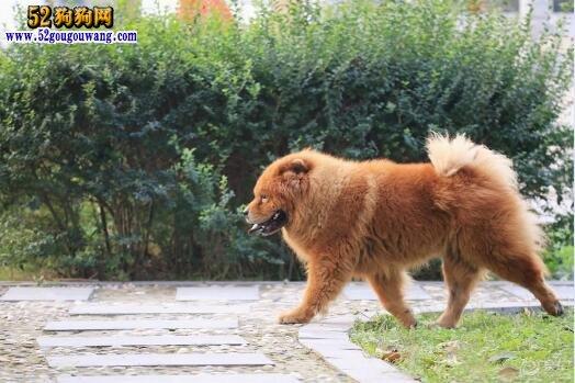 松狮犬性格