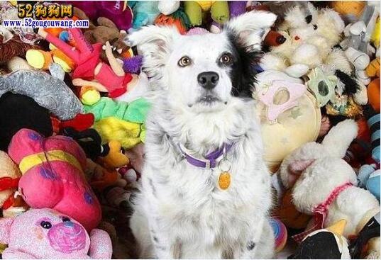 世界上最聪明狗狗去世、三岁掌握1022个单词!