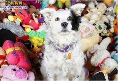 世界上最聪明狗狗去世、三岁掌握