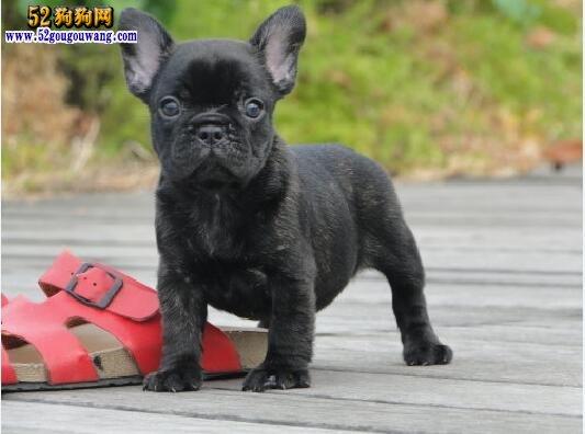 黑色斗牛犬