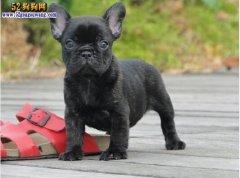 黑色斗牛犬、黑色斗牛犬是什么犬?多少钱一只?