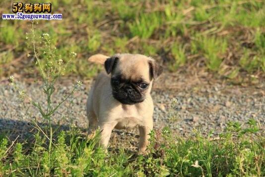 纯种巴哥犬多少钱
