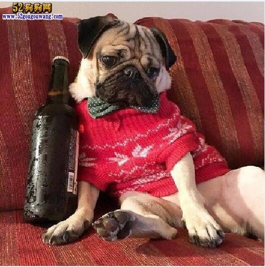 纯种巴哥犬