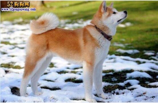 秋田犬的价格