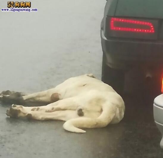 俄罗斯一宠物狗被主人栓在车后拖行!
