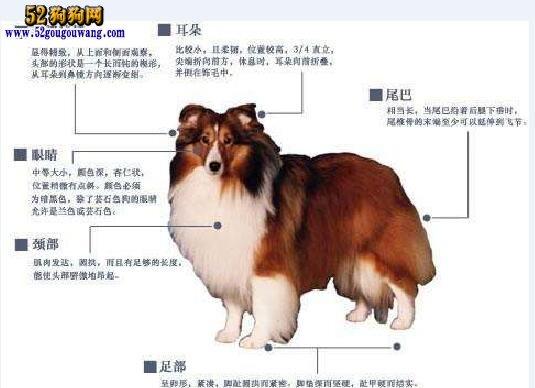 现在喜乐蒂犬多少钱一只?
