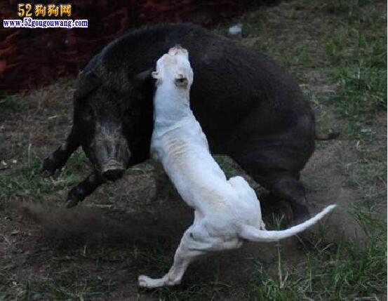杜高犬怎么训练