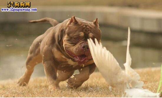 恶霸犬和比特犬谁厉害?图片
