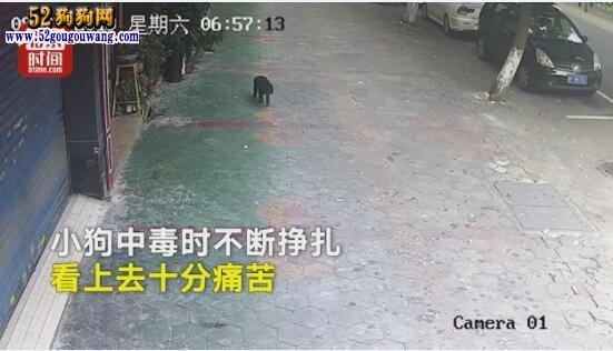 监拍男子投毒偷走宠物狗!小狗吃后几十秒痛苦挣扎被偷走!