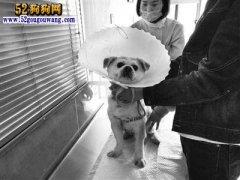 宠物狗也生不起病了!一宠物狗治