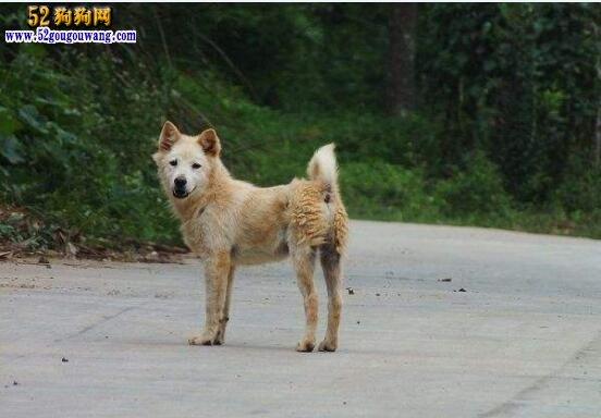 中华田园犬价格
