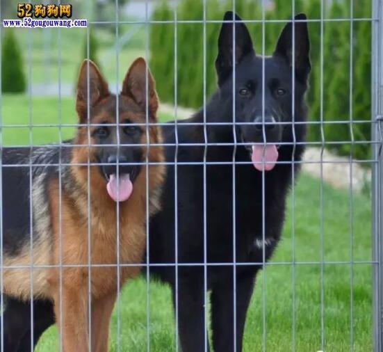 纯黑德牧、纯黑色东德牧羊犬价格多少?