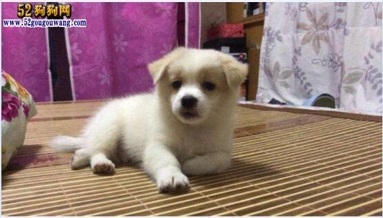 中华田园犬幼犬