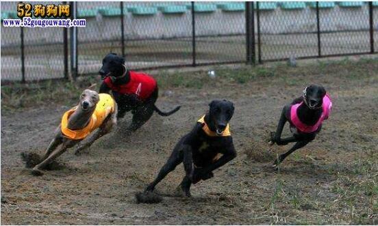 格力犬训练速度绝招?怎么训练灵缇犬的速度?
