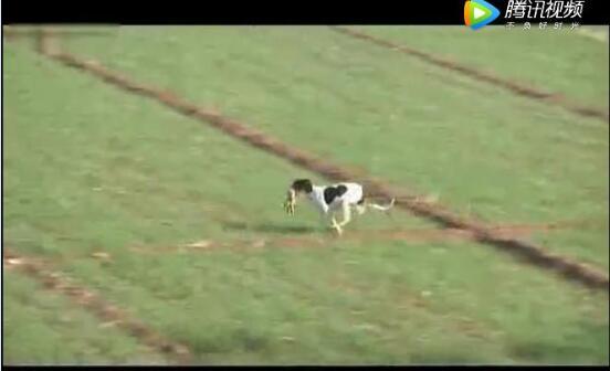 狗抓兔子视频、看看世界上速度最快的狗如何轻松捕捉野兔的!