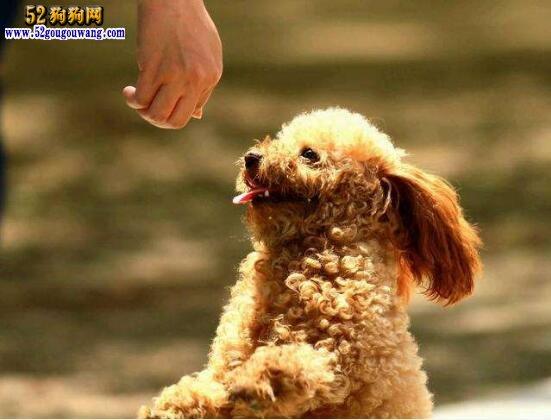 泰迪犬怎么训练