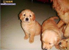 小狗多少钱一只?普通小狗和血统