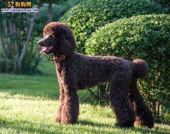 泰迪贵宾犬、泰迪犬和贵宾犬有什么区别?