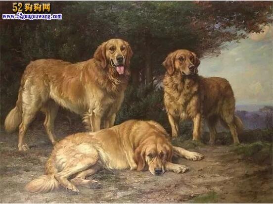 金毛巡回猎犬