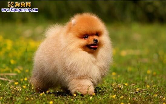 博美犬出售