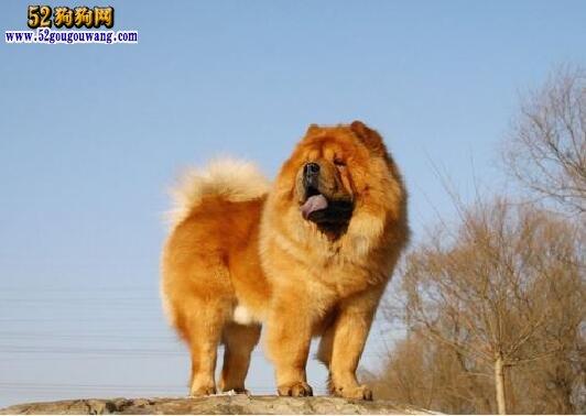 松狮狗图片