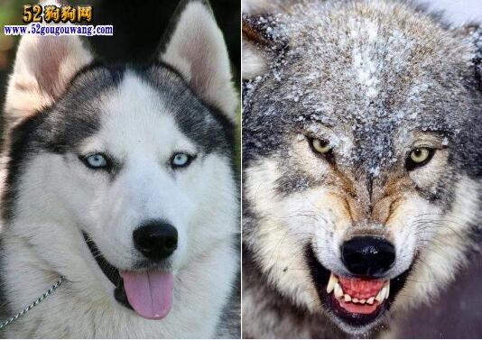 哈士奇是狼吗?它们是狼的后代吗?