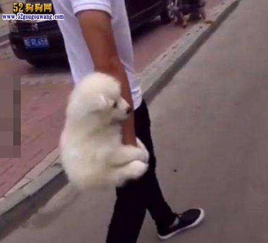 萨摩耶犬怎么养?如何正确的饲养萨摩耶犬?
