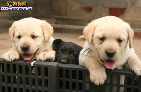 北京拉布拉多犬舍有哪些