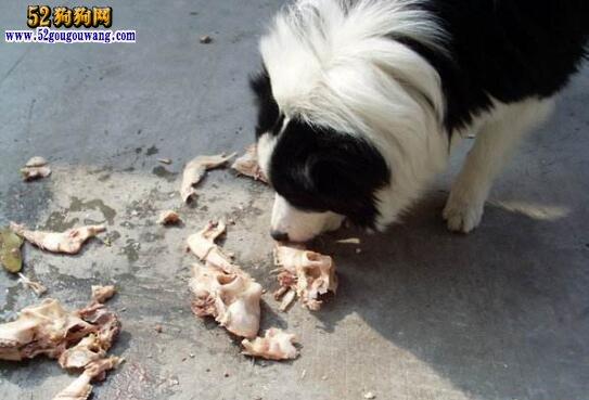 边境牧羊犬吃什么食物?给边牧喂什么东西最好?
