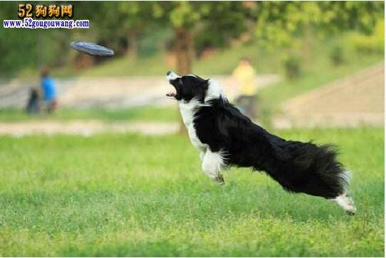 边境牧羊犬怎么训练