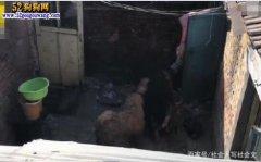 黑龙江6条大藏獒咬4名路人没钱赔!猛犬不是谁都能养的!